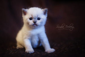 Scottish Straight blue point kitten SimbaIceberg Harry (1 month old - 22.03.2017) (2)