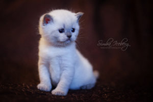 Scottish Straight blue point kitten SimbaIceberg Harry (1 month old - 22.03.2017) (3)