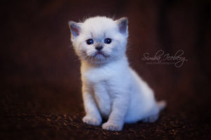 Scottish Straight blue point kitten SimbaIceberg Harry (1 month old - 22.03.2017) (4)