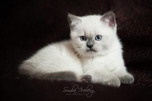 Scottish Straight blue point kitten SimbaIceberg Harry (2 months 1 week old - 29.04.2017) (1)