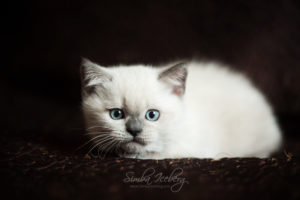 Scottish Straight blue point kitten SimbaIceberg Harry (2 months 1 week old - 29.04.2017) (2)