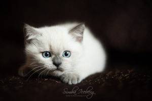 Scottish Straight blue point kitten SimbaIceberg Harry (2 months 1 week old - 29.04.2017) (3)