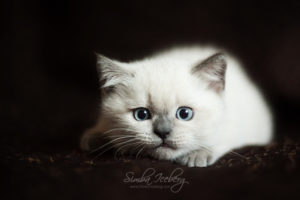 Scottish Straight blue point kitten SimbaIceberg Harry (2 months 1 week old - 29.04.2017) (4)