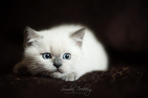 Scottish Straight blue point kitten SimbaIceberg Harry (2 months 1 week old - 29.04.2017) (5)
