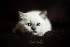 Scottish Straight blue point kitten SimbaIceberg Harry (2 months 1 week old - 29.04.2017) (6)