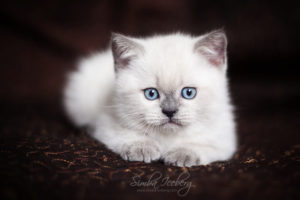 Scottish Straight blue point kitten SimbaIceberg Harry (2 months old - 22.04.2017) (1)
