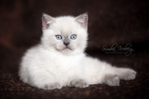 Scottish Straight blue point kitten SimbaIceberg Harry (2 months old - 22.04.2017) (2)