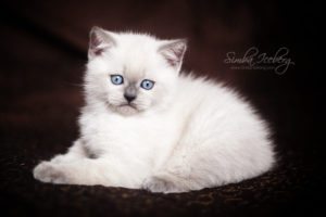 Scottish Straight blue point kitten SimbaIceberg Harry (2 months old - 22.04.2017) (5)