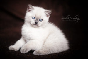 Scottish Straight blue point kitten SimbaIceberg Harry (2 months old - 22.04.2017) (6)