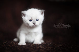 Scottish Straight blue point kitten SimbaIceberg Harry (27 days old - 21.03.2017) (1)