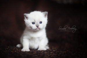 Scottish Straight blue point kitten SimbaIceberg Harry (27 days old - 21.03.2017) (2)