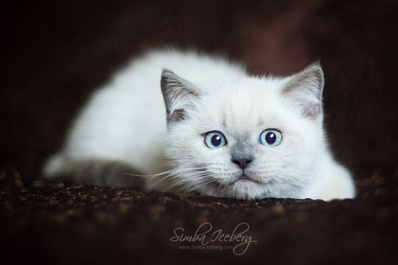 Scottish Straight blue point kitten SimbaIceberg Harry (3 months old - 22.05.2017) (1)