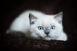 Scottish Straight blue point kitten SimbaIceberg Harry (3 months old - 22.05.2017) (2)