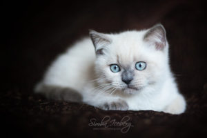 Scottish Straight blue point kitten SimbaIceberg Harry (3 months old - 22.05.2017) (3)