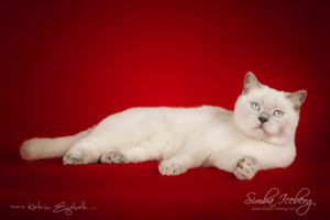 Scottish Straight lilac point cat Euphoria of Simba Iceberg (1 year 1 month old - 26.09.2014) (1)
