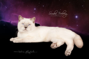 Scottish Straight lilac point cat Euphoria of Simba Iceberg (9 months 1 week old - 06.06.2014) (1)
