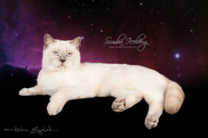 Scottish Straight lilac point cat Euphoria of Simba Iceberg (9 months 1 week old - 06.06.2014) (2)