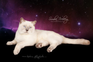 Scottish Straight lilac point cat Euphoria of Simba Iceberg (9 months 1 week old - 06.06.2014) (3)