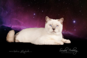 Scottish Straight lilac point cat Euphoria of Simba Iceberg (9 months 1 week old - 06.06.2014) (4)