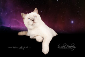 Scottish Straight lilac point cat Euphoria of Simba Iceberg (9 months 1 week old - 06.06.2014) (5)