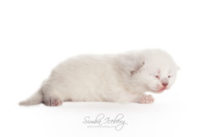Scottish Straight lilac point kitten Euphoria of Simba Iceberg (13 days old - 07.09.2013) (1)
