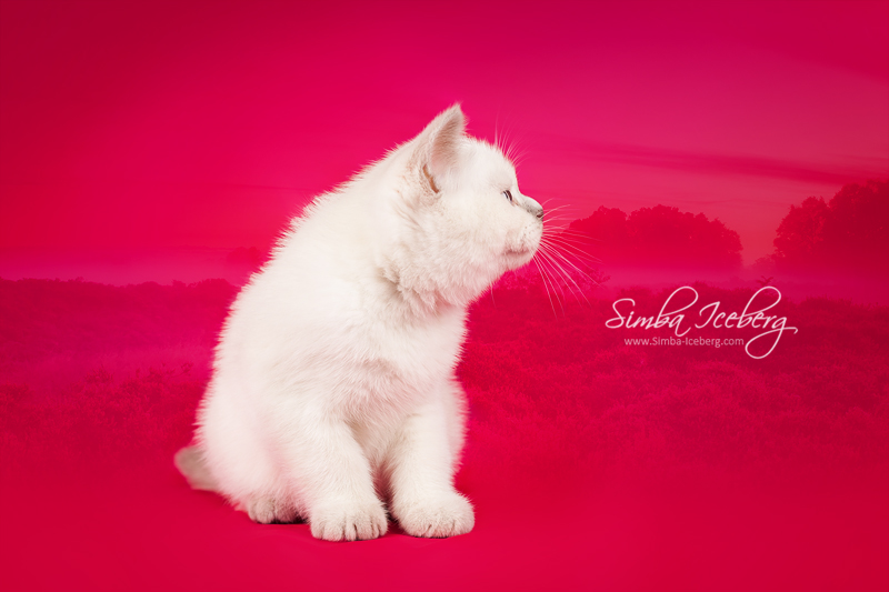 Scottish Straight lilac point kitten Euphoria of Simba Iceberg (2 months 1 week old - 02.11.2013) (1)