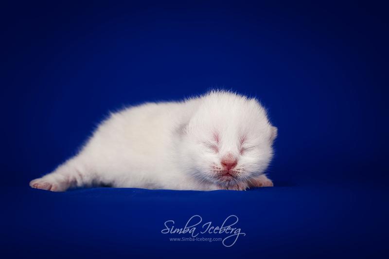Scottish Straight lilac point kitten Euphoria of Simba Iceberg (5 days old - 30.08.2013)
