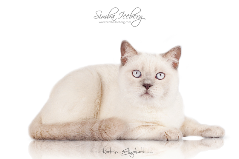Scottish Straight lilac point kitten Euphoria of Simba Iceberg (5 months 4 weeks old - 23.02.2014) (1)