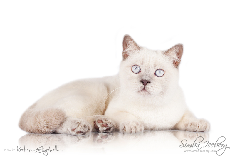 Scottish Straight lilac point kitten Euphoria of Simba Iceberg (5 months 4 weeks old - 23.02.2014) (2)