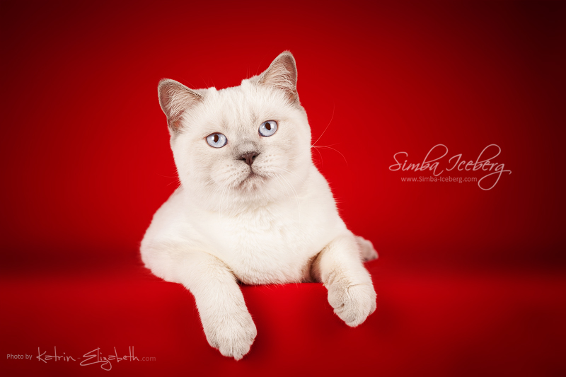 Scottish Straight lilac point kitten Euphoria of Simba Iceberg (7 months 3 weeks old - 18.04.2014) (2)
