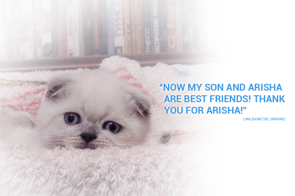 Testimonial - Lina and Scottish Fold blue point cat Ariadna of Simba Iceberg (Donetsk, Ukraine)