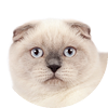 testimonial - Scottish Fold blue point cat Cruel Morgana of Simba Iceberg