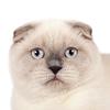 testimonial - Scottish Fold blue point cat Cruel Morgana of Simba Iceberg