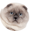 testimonial - Scottish Fold blue point cat SimbaIceberg Grant