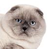 testimonial - Scottish Fold blue point cat SimbaIceberg Grant
