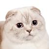 testimonial - Scottish Fold chocolate silver tabby point cat Paula