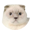 testimonial - Scottish Fold lilac point cat Rosabel