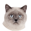 testimonial - Scottish Straight blue point cat SimbaIceberg Grace