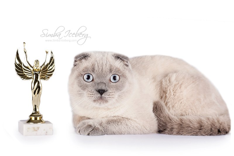 photo Scottish Fold blue point cat Camelot of Simba Iceberg (9 months 1 weeks old - 14.10.2013) (3)