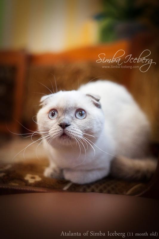 Фото шотландська висловуха (скоттіш-фолд) кішка ліловий колор-поінт Atalanta of Simba Iceberg (11 місяців - 05.08.2012) (3)